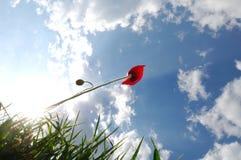 весна мака Стоковая Фотография RF