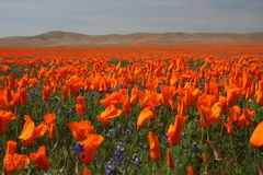 весна маков Стоковое фото RF