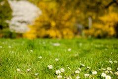 весна маргариток первая Стоковое Изображение RF
