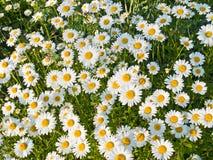весна маргариток Стоковые Фото