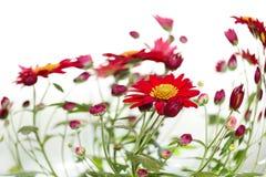 весна маргариток стоковое изображение