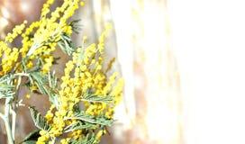 Весна, мимоза, загоренная, солнце, окном, с пинком, занавес, слепимость, предпосылка, 8-ое марта, весна, поздравления, праздник, Стоковое фото RF