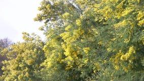 Весна мимозы цветет предпосылка пасхи Цвести дерево мимозы против неба r сток-видео