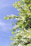 весна неба вишни bush птицы зацветая голубая Стоковые Фото