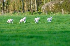 весна овечек Стоковые Фото
