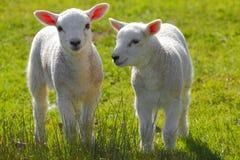 весна овечек Стоковые Фотографии RF
