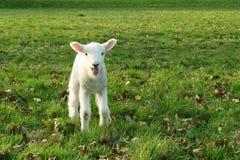 весна овечки Стоковые Изображения RF