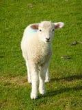 весна овечки Стоковое Изображение