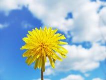 весна одуванчика Стоковая Фотография