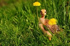 весна одуванчиков цыпленка любознательная стоковые изображения rf