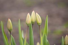 Весна отпочковывается тюльпан в саде Стоковая Фотография RF