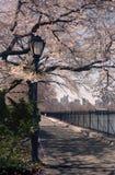 весна парка nyc вишни цветений центральная стоковое изображение