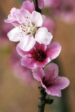 весна персика сада Стоковое Фото