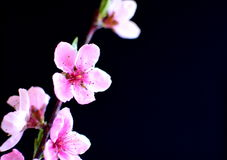 весна персика цветений стоковая фотография rf