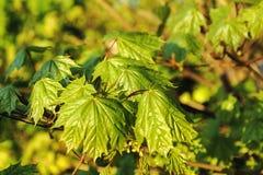 Весна показывает кленовые листы стоковая фотография rf