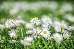 весна поля глубины маргаритки селективная стоковая фотография rf