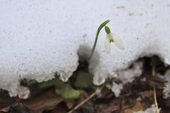 Весна, поток, снег, цветки Стоковые Изображения RF