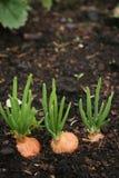 весна почвы луков Стоковая Фотография