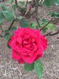Весна подняла стоковая фотография rf