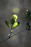 весна предыдущих листьев новая Стоковые Фотографии RF
