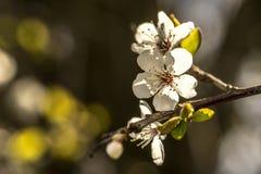 Весна приносит ветви деревьев к цвести Стоковые Фотографии RF