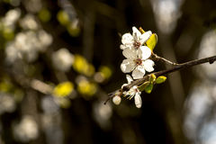 Весна приносит ветви деревьев к цвести Стоковое Фото
