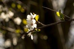 Весна приносит ветви деревьев к цвести Стоковые Изображения