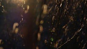 весна природы состава бутона вербы сток-видео