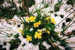 Весна приходит. Желтые цветки и снег. Стоковая Фотография RF