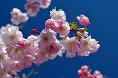 Весна приходит назад! Цветение вишневого дерева. Стоковые Изображения