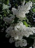 Весна приходила Сирень зацвела Стоковое Изображение RF