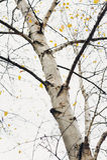 весна пущи березы предыдущая Стоковое фото RF