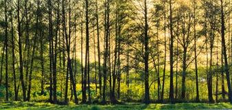 весна пущи солнечная Стоковая Фотография