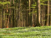 весна пущи стоковые фотографии rf