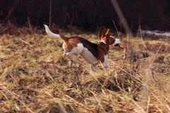 весна пущи beagle Стоковые Фото