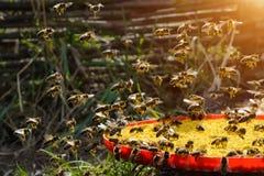 Весна пчелы приманки Еда для пчел Apiculture Стоковая Фотография