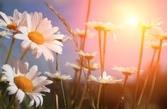 весна рассвета маргариток стоковая фотография