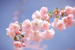Весна розовая Сакура Стоковые Фото