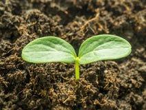 весна сада Здоровый молодой росток огурца Стоковые Фото