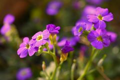 весна сада цветков Фиолетовые цветки пламени paniculata флокса флокса Стоковое Изображение RF