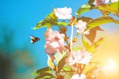 Весна Сакура шмеля пчелы опыляя цветет в парке в солнце Стоковые Изображения
