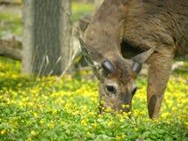 весна самеца оленя просматривать Стоковые Фото