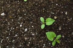 весна сеянца огурца Стоковое Фото