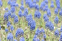 Весна селективного фокуса голубая цветет виноградный гиацинт в саде Стоковая Фотография RF