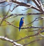 Весна синей птицы Стоковая Фотография RF