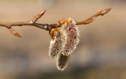 весна тополя Стоковая Фотография RF