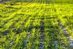 весна травы Стоковое Изображение RF