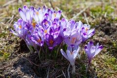 Весна трейлеров кино крокусов стоковое изображение rf