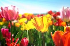 Весна тюльпанов цветет - поле тюльпана в солнечном свете стоковое фото rf