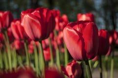 Весна тюльпанов предыдущая Стоковая Фотография RF